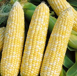 Corn Plant Honey 'N Pearl HG 3.5″