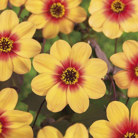5085;Dahl.;Shunshine;Dahlia;mignon;Sunshine;;35;pt=April-May;ft=July-Frost;Full sun;borders/patio;zone 8-10;