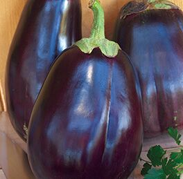 Eggplant Plant Black Beauty HG 3.5″