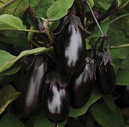 Eggplant Plant Patio Baby HG 3.5″