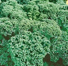 Kale Plant Seabor (curly) HG 3.5″