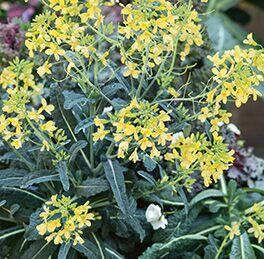 Kale Plant Lacinato HG 3.5″