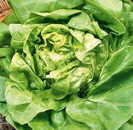Lettuce Plant Butter (bibb) HG 3.5″