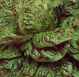 Lettuce-Freckles