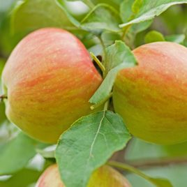 FRUIT TREE APPLE 5 IN 1 7G