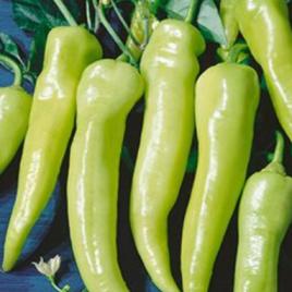 Pepper Plant Sweet Banana HG 3.5″