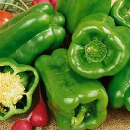 Pepper Plant Big Bertha HG 3.5″