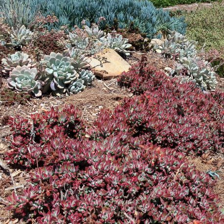 blood sedum