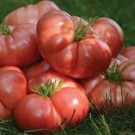 Tomato Plant Hybrid Big Brandy HG 3.5″