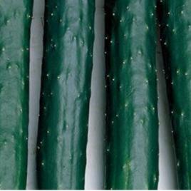 Cucumber Burpless Plant Pac