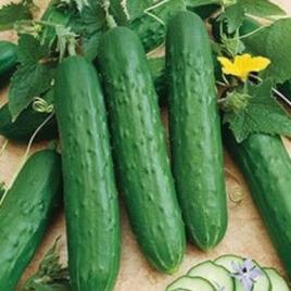 Cucumber Plant Fanfare Dwarf HG 3.5″