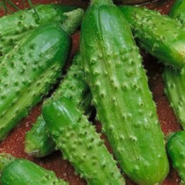 Cucumber Plant Bush Pickle HG 3.5″