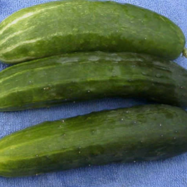 Cucumber Bush Crop Plant Pac