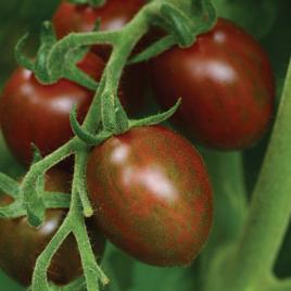 Tomato Plant Hybrid Chocolate Sprinkles HG 3.5″