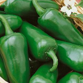Pepper Plant Fooled You Jalapeno HG 3.5″