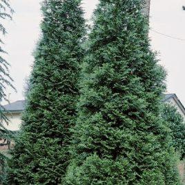 ARBORVITAE GREEN GIANT 7G