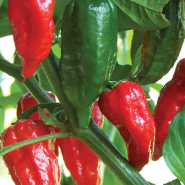 Pepper Plant Ghost HG 3.5″