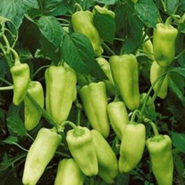 Pepper Plant Gypsy HG 3.5″
