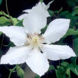 CLEMATIS NINON HYDE HALL 3.5″