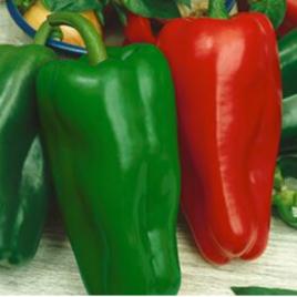 Pepper Plant Giant Marconi HG 3.5″