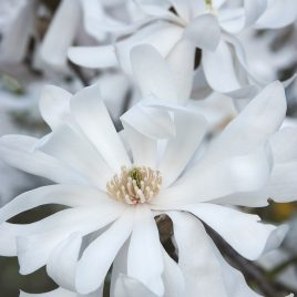 MAGNOLIA ROYAL STAR 7G