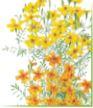 marigold signet lem tang
