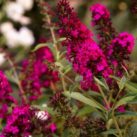BUTTERFLY BUSH ROYAL RED 3G