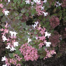 ABELIA ROSE CREEK 3G