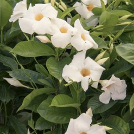 MANDEVILLA GIANT WHITE 2G