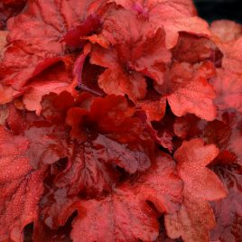 HEUCHERA FIRE ALARM 1G
