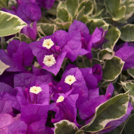 BOUGAINVILLEA BLUEBERRY ICE 1G