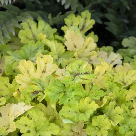 HEUCHERELLA SPICY LIME 1G
