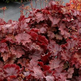 HEUCHERA RED CORAL BELLS 1G