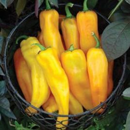 Pepper Plant Mama Mia Giallo HG 3.5″