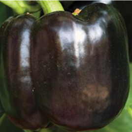 Pepper Plant Purple Beauty HG 3.5″