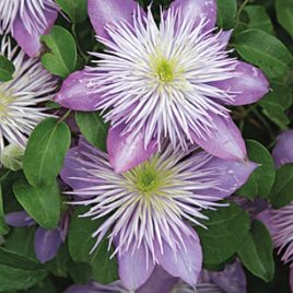 CLEMATIS CRYSTAL FOUNTAIN 19CM
