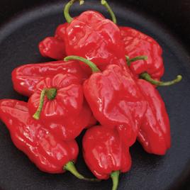 Pepper Plant Habanero Roulette HG 3.5″