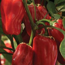 Pepper Plant Sweet Heat HG 3.5″