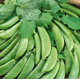 Peas Plant C74Sugar Snap HG 3.5″