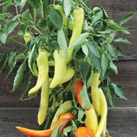 Pepper Plant Sweet Sunset HG 3.5″