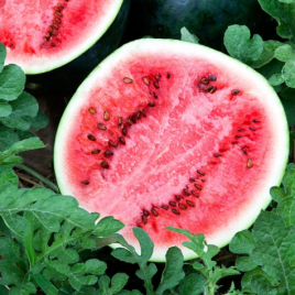 Watermelon Sugar Baby Plant Pac