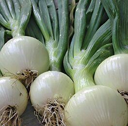 Onion Plant Walla Walla HG 3.5″