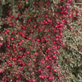 COTONEASTER EICHHOLZ 1G