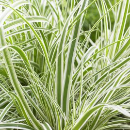 GRASS CAREX EVEREST 1G