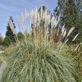 GRASS ERIANTHUS RAVENNAE 1G