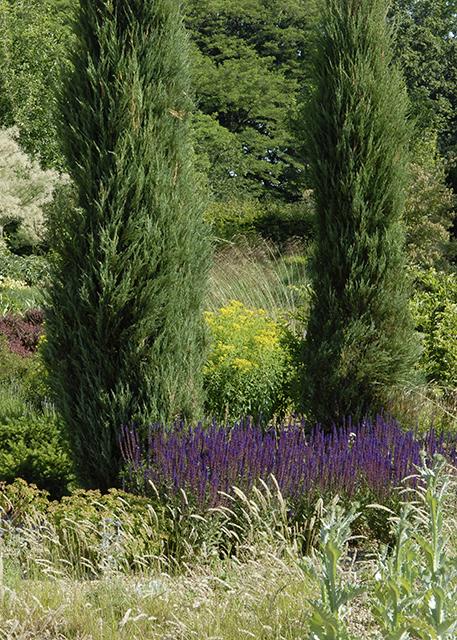 Juniperus scopulorum Skyrocket, Cotinus coggygria Royal Purple