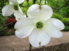 DOGWOOD CLOUD NINE 5G