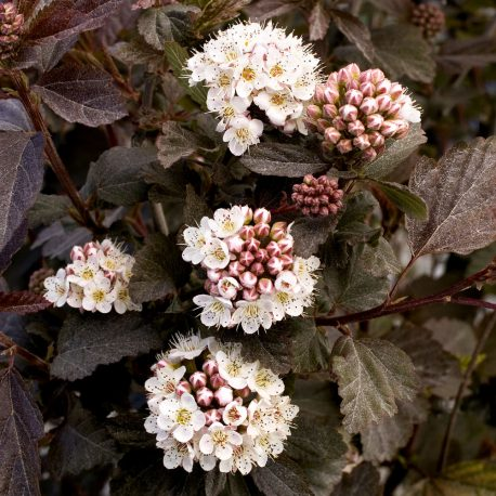 Diablo Ninebark, Physocarpus opulifolius `Diablo', at Monrovia Nursery Co.