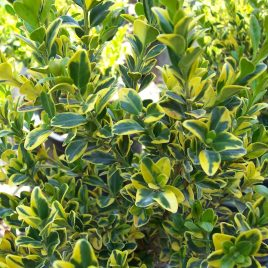 BOXWOOD GOLDEN TRIUMPH 2G