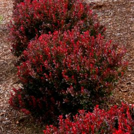 BARBERRY PYGMY RUBY 1G